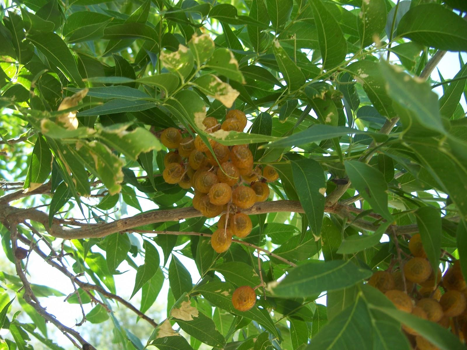 The Western Soapberry Thrives In Our Arid Climate And Alkaline Soil