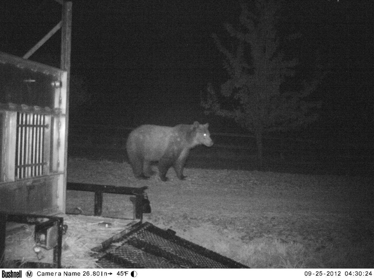 46135f9c431d1 A Well-Traveled Grizzly Bear s 5