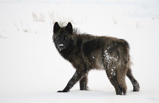 Idaho Fish and Game Commissioners agreed in March to increase the number of wolves hunters and trappers can annually harvest in the state. CREDIT JIM PEACO / YELLOWSTONE NATIONAL PARK