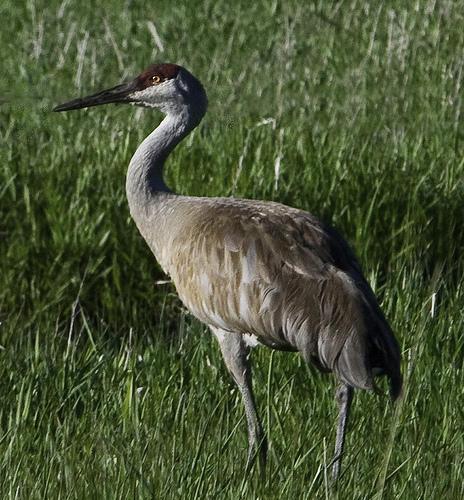 Sandhill Crane National Wildlife Federation >> Drought Could Be Diminishing Sandhill Crane Population In Idaho