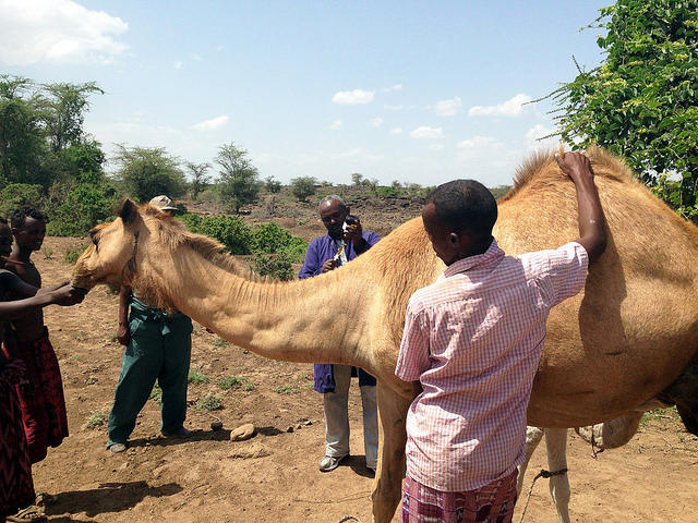 ISU veterinarian treats camels to help people | Iowa Public Radio
