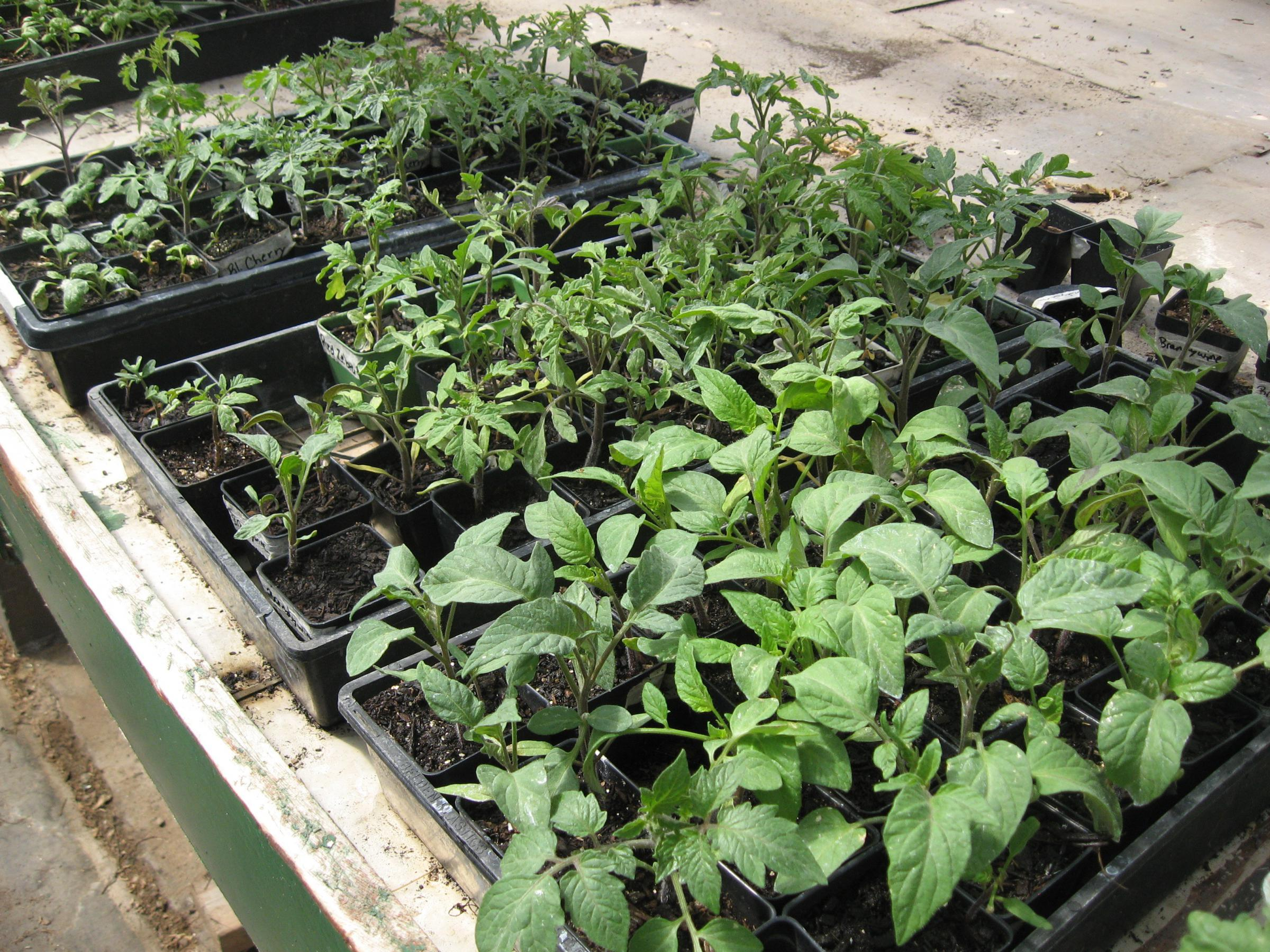Young Plants Ready For The Vegetable Garden