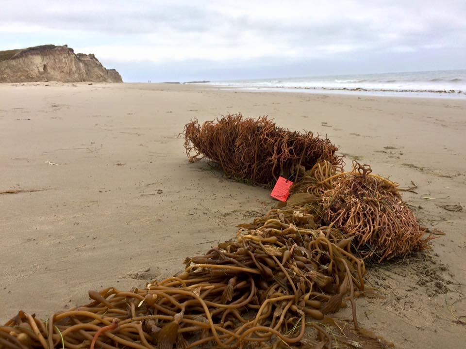A Tagged Piece Of Kelp From Uc Santa Barbara S Watch Project
