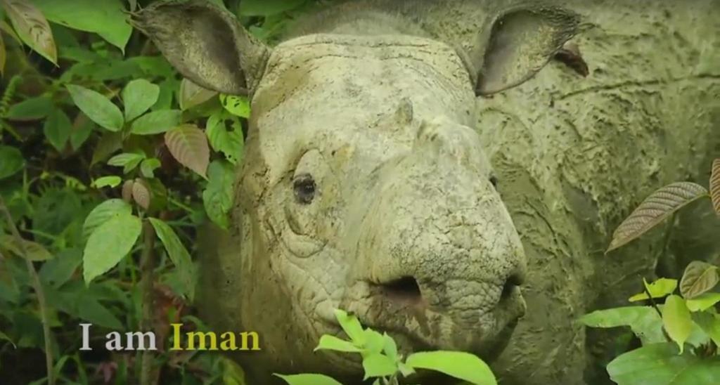 Update on effort to save Iman the Sumatran rhino in Malaysia