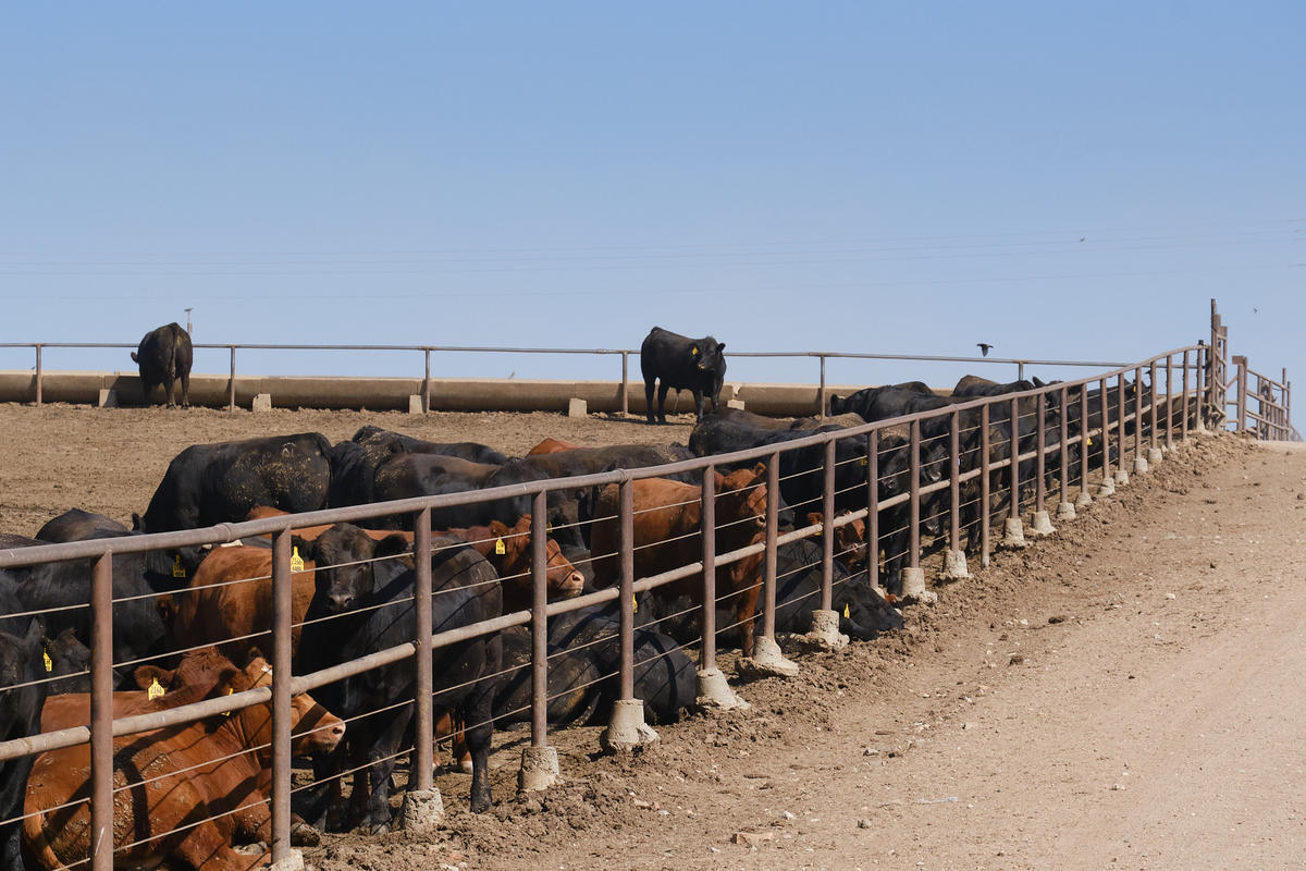 Cattle wait for the arrival of the feed truck at Great Bend Feedyard. (Photo by Brian Grimmett, Kansas News Service)