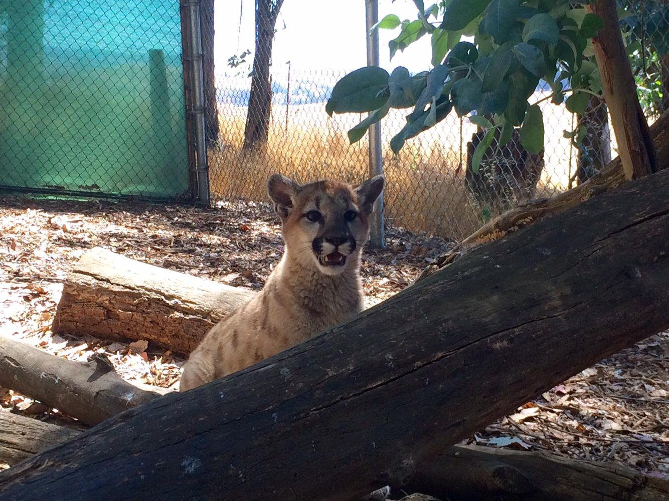 Abandoned Mountain Lion Cub Finds Compassion and Care at