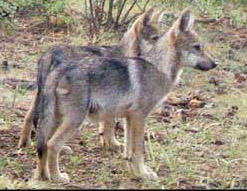 Officials Investigating Deaths Of Mexican Gray Wolves In New Mexico, Arizona | KRWG