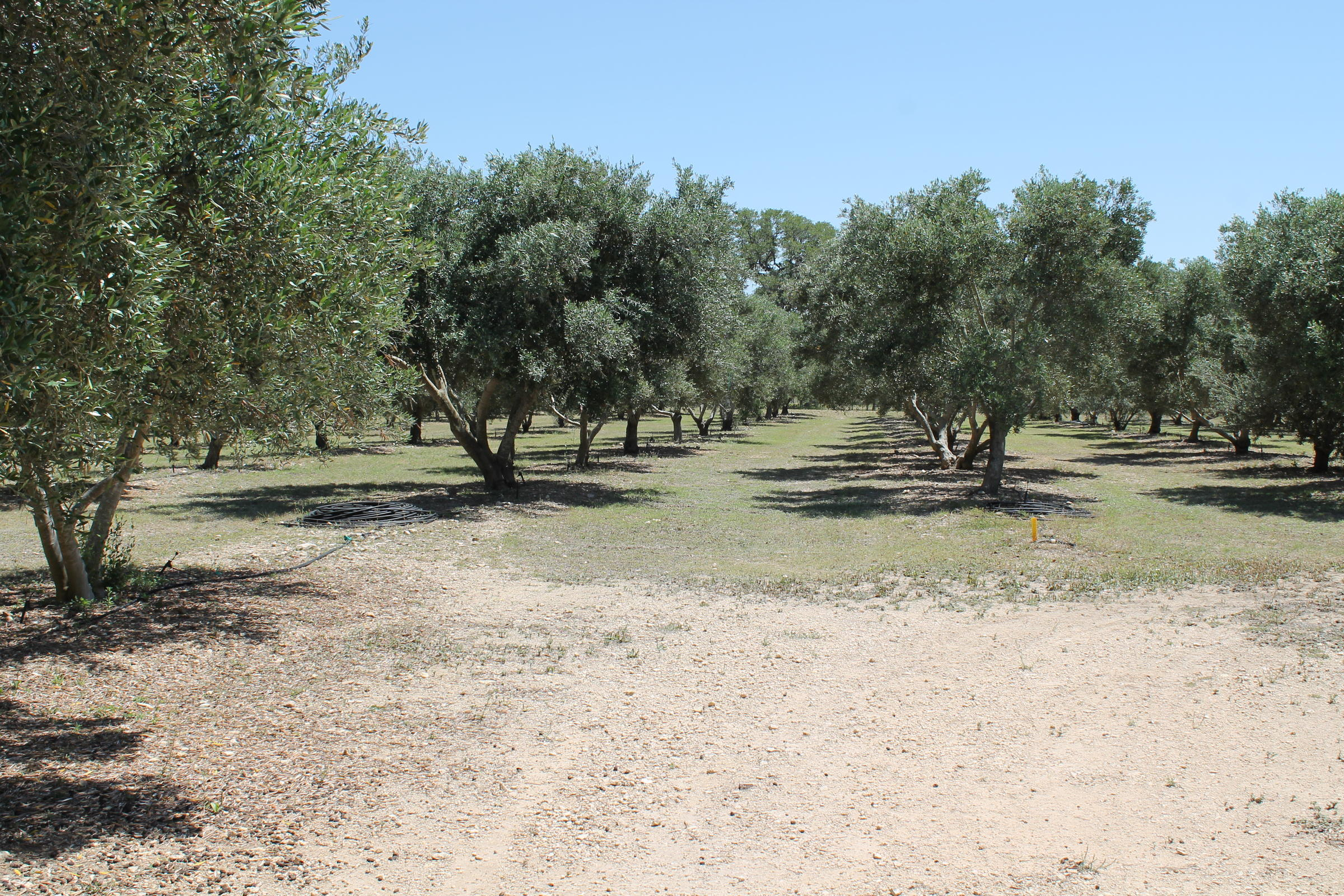 Olive Oil Is Far From Being The Next Boom In Texas, But The