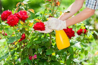 Good To Grow Fall Rose Care Ktep