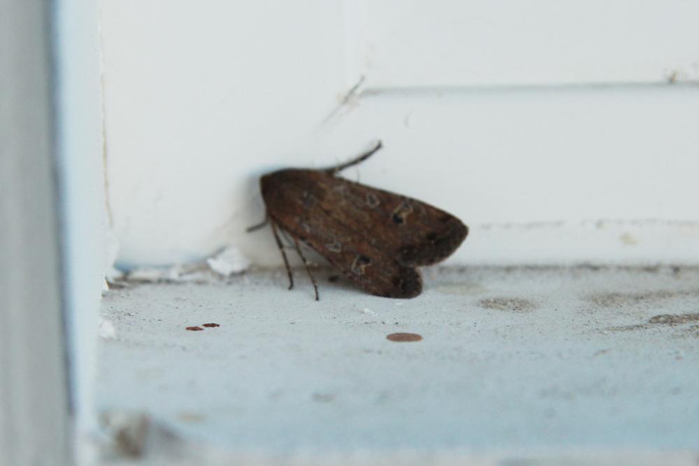 An Army Cutworm Moth