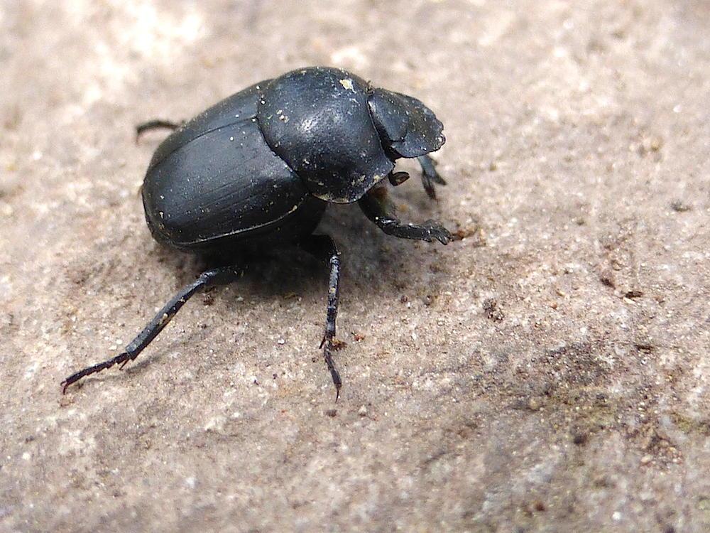 bug_bytes_21._dung_beetle.jpg