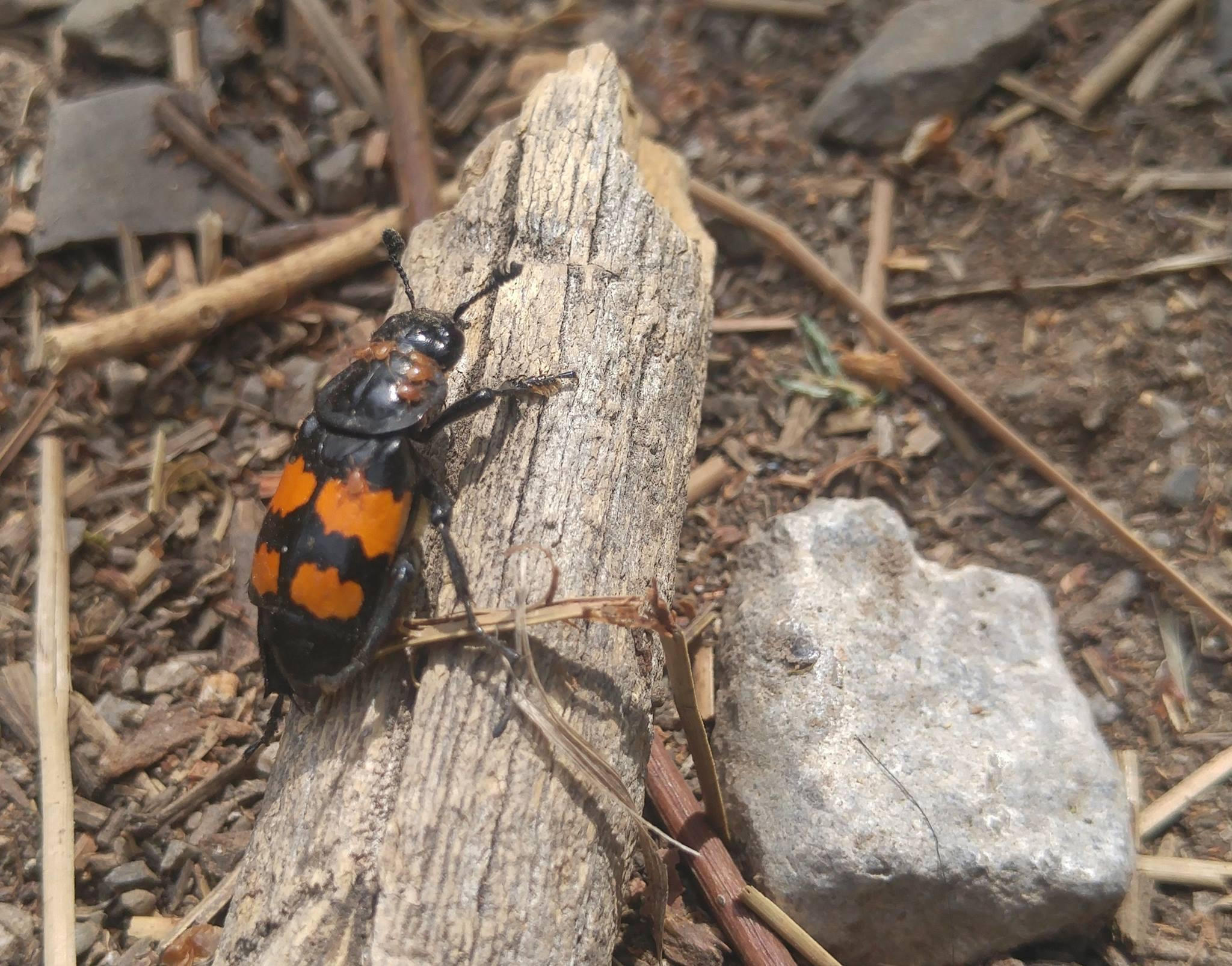 Bug Bytes Burying Beetles And Mites Mtpr