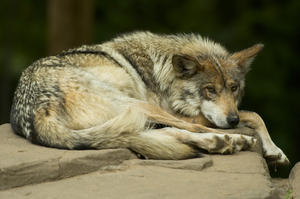Santa Fe School Board Eyes Changes After Member Admits DWIs, Mexican Wolves Found Dead in NM and AZ | KUNM