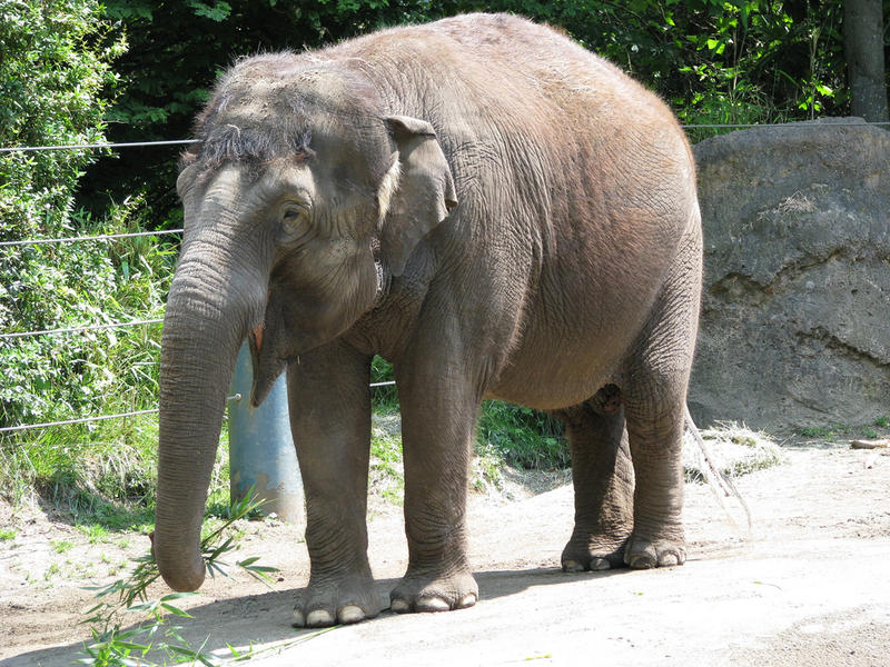Bamboo, one of two elephants at Woodland Park Zoo, will be leaving with Chai.
