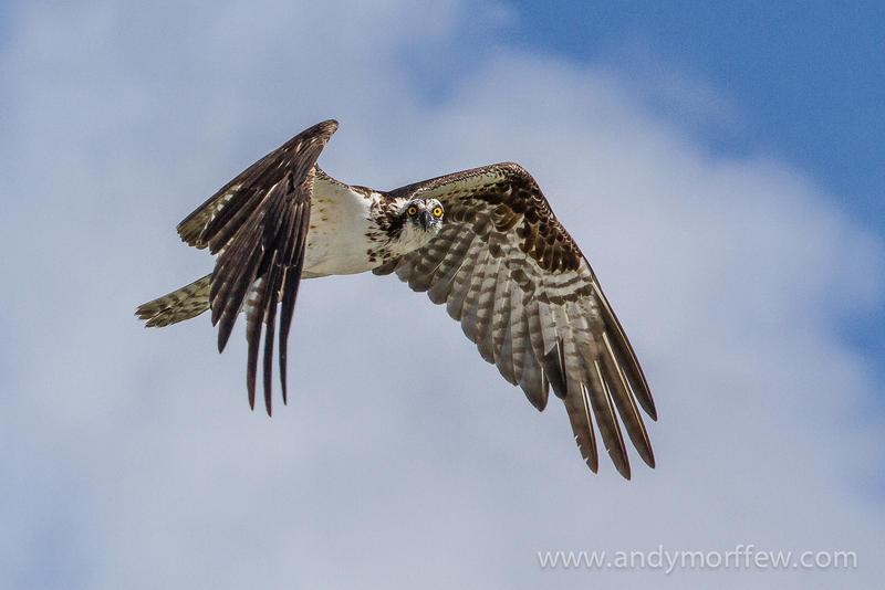 An osprey in flight.