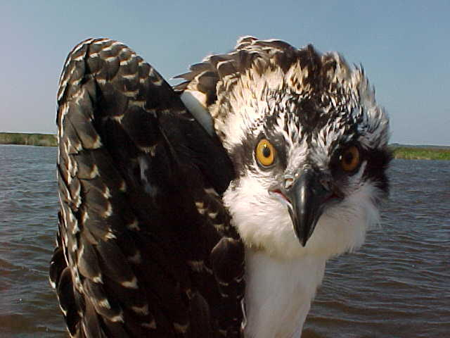 The Seattle Ospreys?