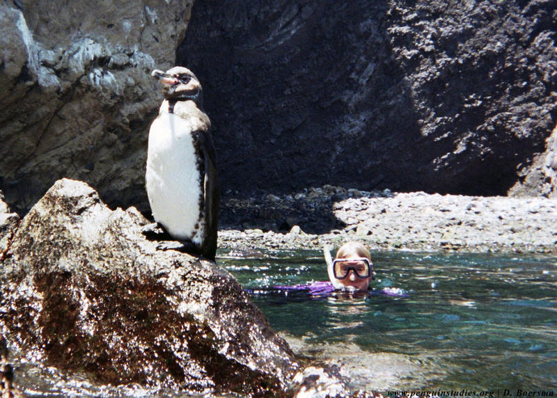 Dee Boersma snorkeling with penguin.