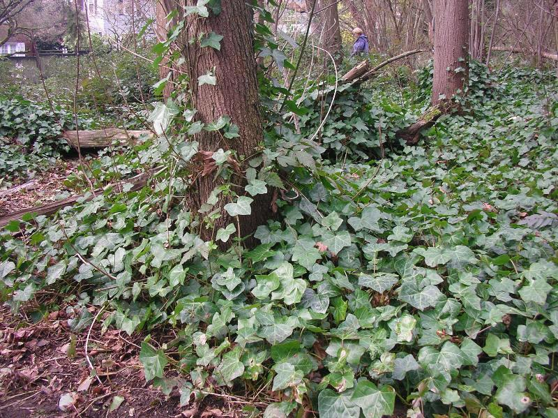 Ivy grows rampant in Seattle, where roughly 10 percent of public land is infested with the plant.