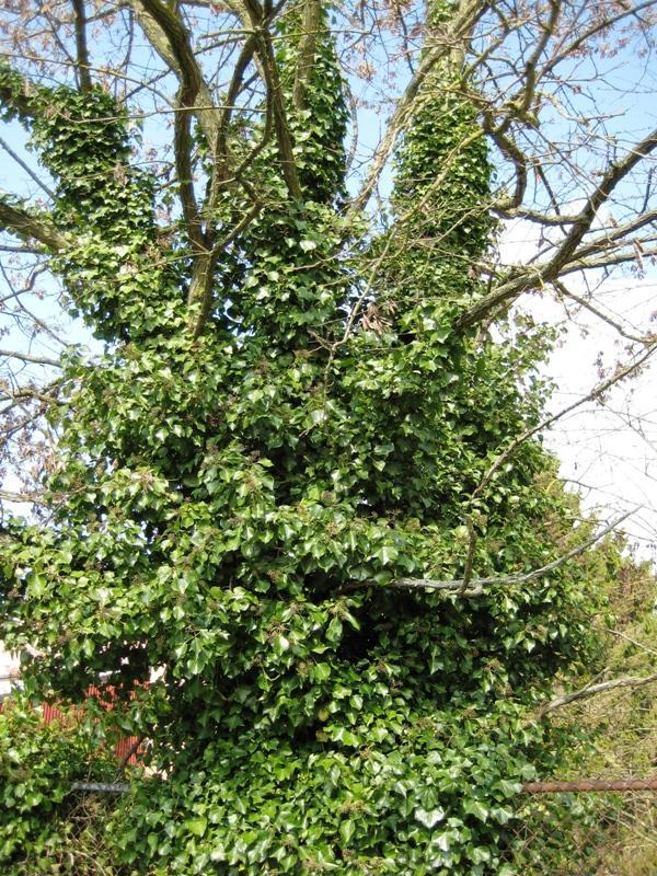 English Ivy On A Tree