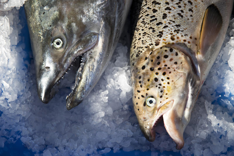 A wild Pacific salmon, left, next to an escaped farm-raised Atlantic salmon, right, on Aug. 22 at Home Port Seafoods in Bellingham.