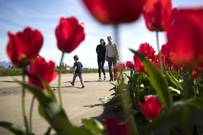 Patrons walk along a path next to rows of red tulips on Tuesday, April 24, 2018, at RoozenGaarde near Mount Vernon.