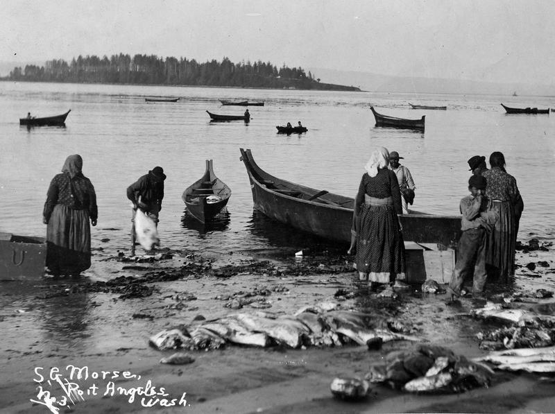 Bringing in a harvest of halibut in Neah Bay, circa 1906