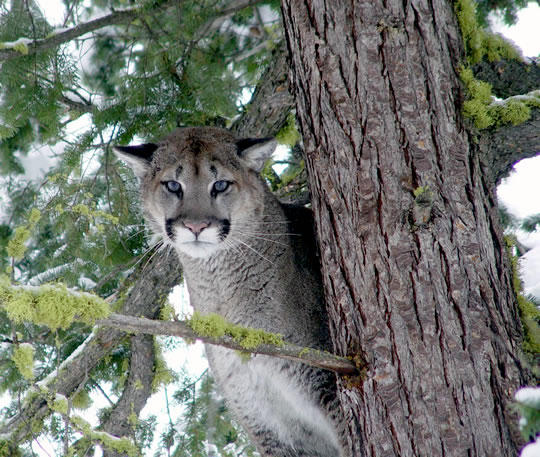 An adult mountain lion