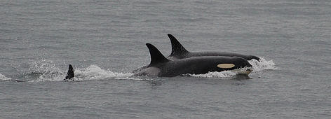 The orca known as J35 swims without her baby off San Juan Island on Saturday.