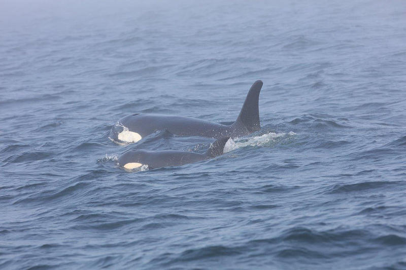 Southern Resident killer whale J50 and her mother, J16, off the west coast of Vancouver Island near Port Renfrew, B.C., on August 7.