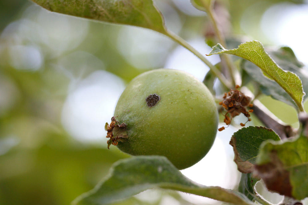 How To Keep Worms From Your Backyard Apples Kuow News And