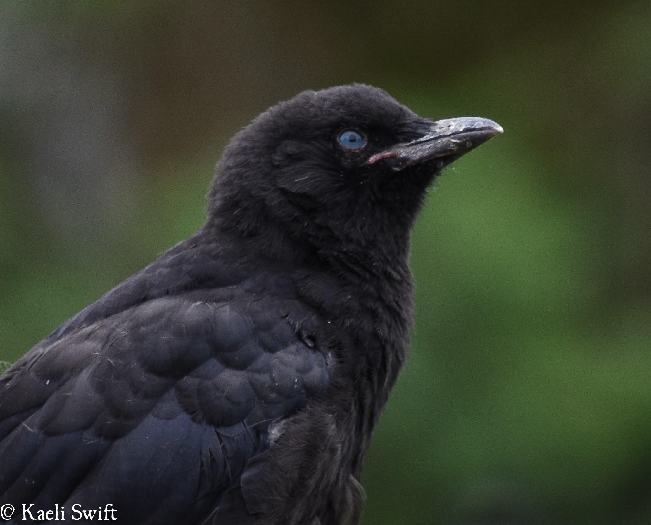 Blue eyes, caramel wings and other crazy facts about crows | KUOW