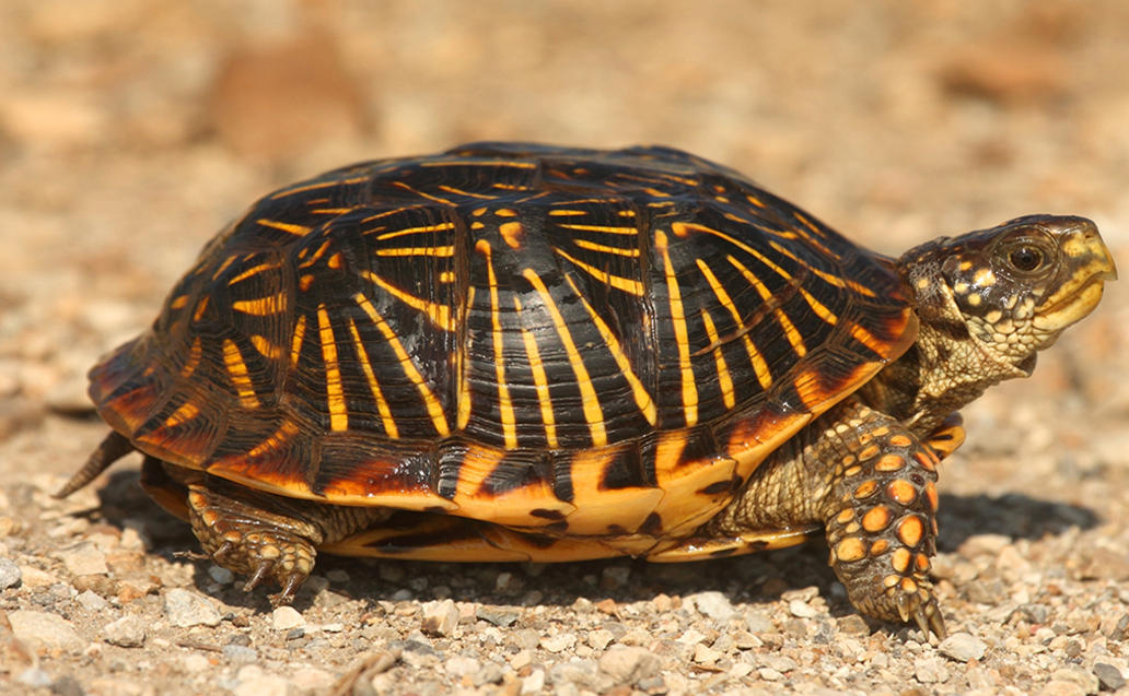 Within The Age Of Data, Focusing On Ornate Box Turtle