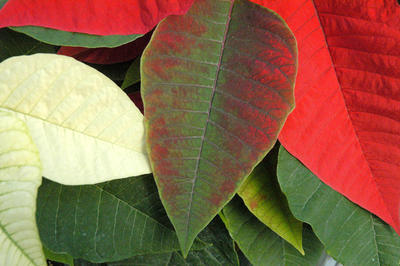 5 Fun Facts You May Not Know About Poinsettias And A Few Myths