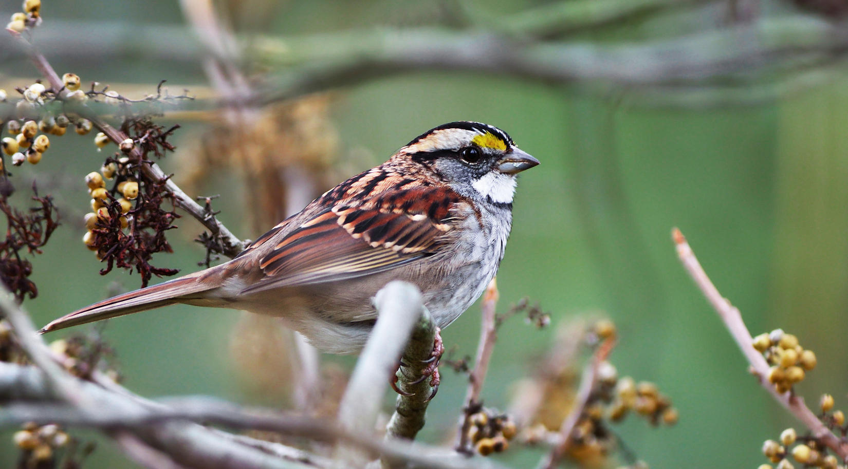 Report: Climate Change Threatens Dozens of Missouri Birds | St
