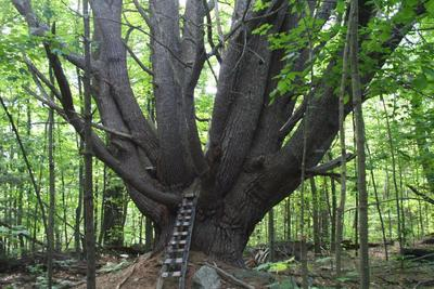 Our Favorite Crooked Trees New Hampshire Public Radio