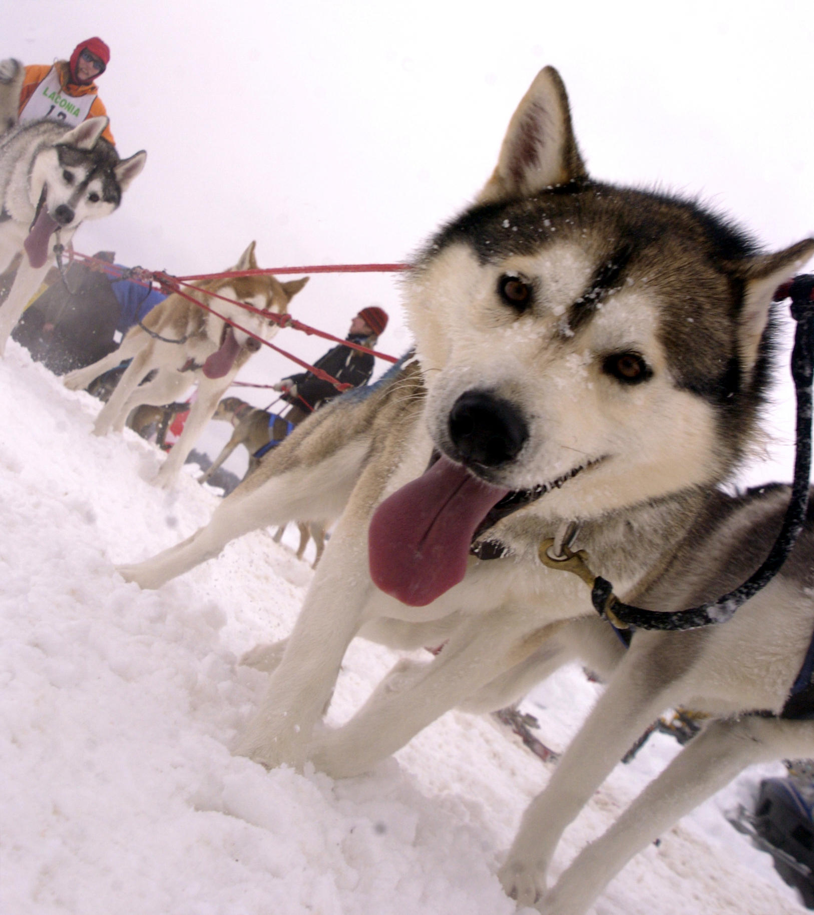 Leonhard Seppala,Dog Sled Derby,Siberian Huskies,Laconia,New Hampshire,1929