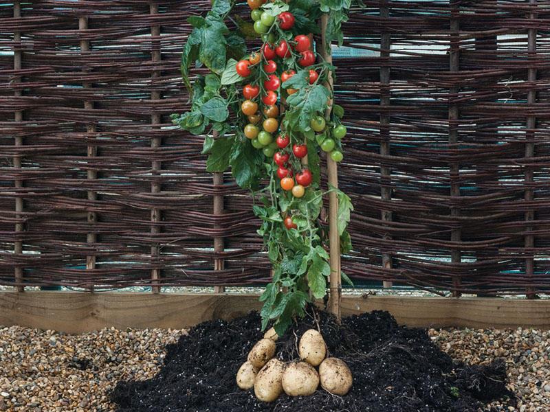 tomato potato plant