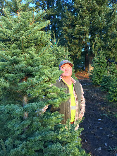 Christmas Tree Seeds.Western Seedling Shortage Your Future Christmas Tree Might