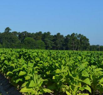 Growing Tobacco In North Carolina Public Radio East
