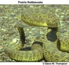 Rattlesnakes That Can't Rattle Being Found In The Black Hills | SDPB