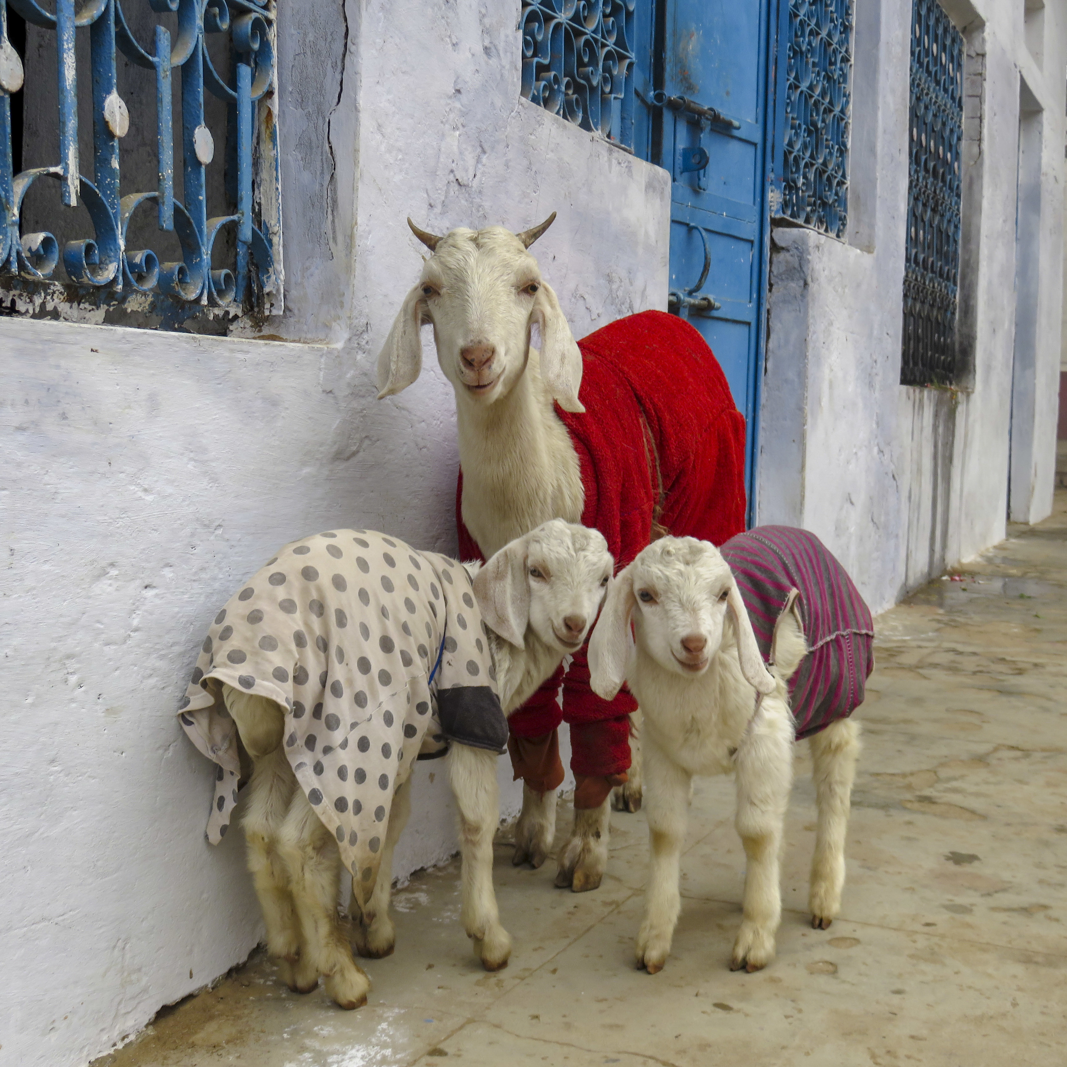 Dear Internet: Goats In Sweaters Are Cuter Than Kittens In