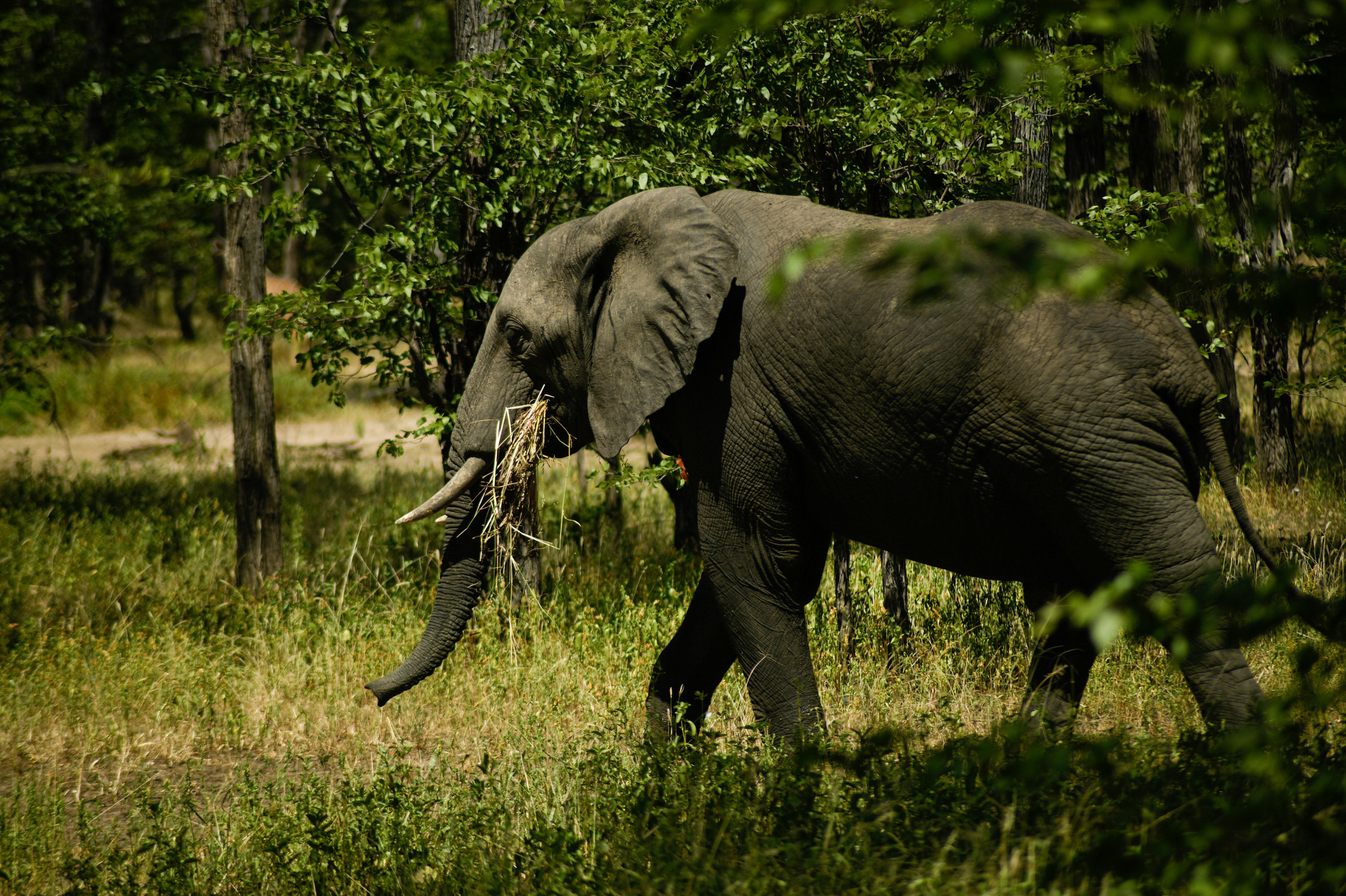 Elephants Under Attack Have An Unlikely Ally: Artificial Intelligence   WUWM