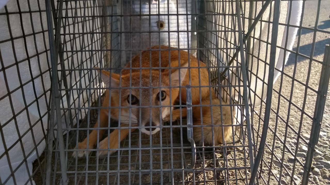 Fort Belknap Restoring Swift Foxes To Native Range