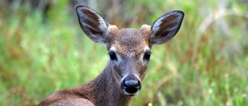 key deer | WUSF News