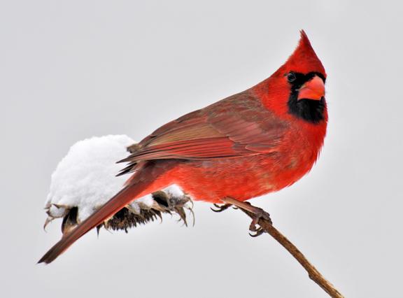 Christmas Bird.Birders Needed W Va Christmas Bird Count Wmky