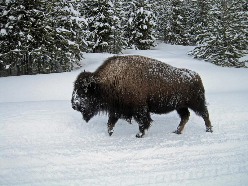 Lawmakers Consider The Future Of Bison In Montana | MTPR