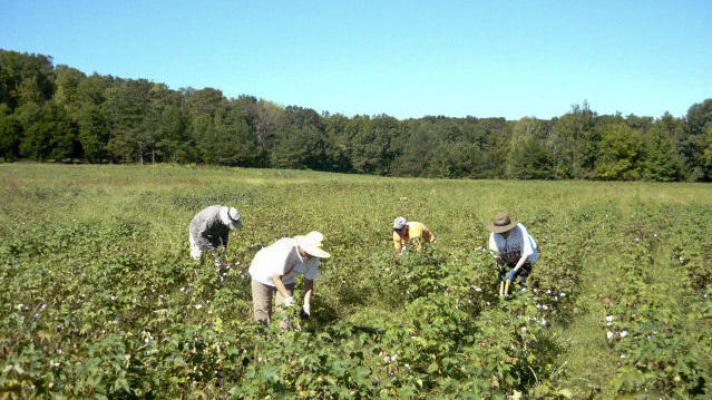Reviving A Southern Industry, From Cotton Field To Clothing Rack | WCAI