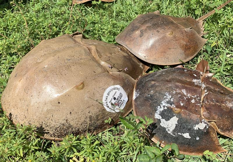 How Many Horseshoe Crabs Are In Florida? Growing Volunteer Effort Aims To Find Out