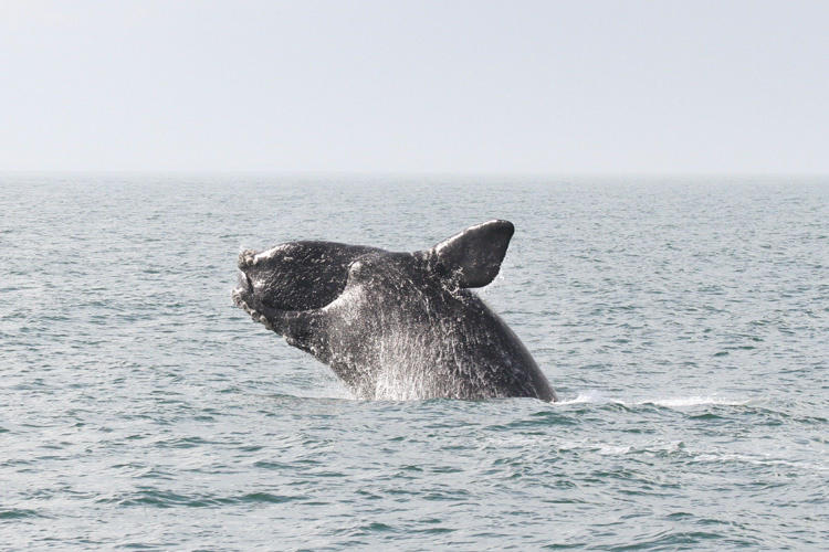 Climate Change Is Contributing To Right Whale Deaths - WLRN