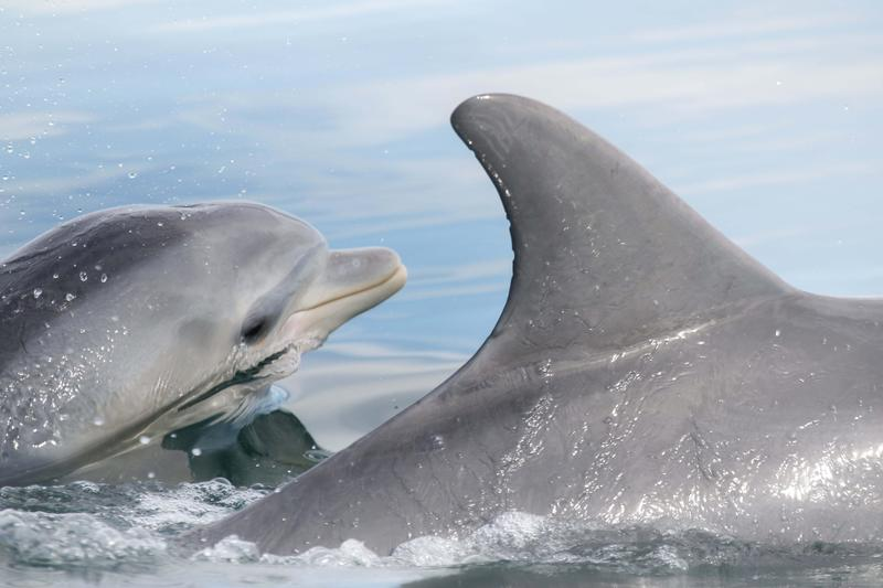 Dolphins Learn Foraging Tricks From Each Other, Not Just From Mom - WUNC